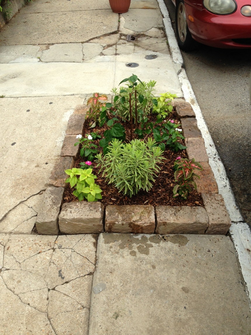 A new sidewalk garden grows. In the fall, a new street tree will be planted in its place.