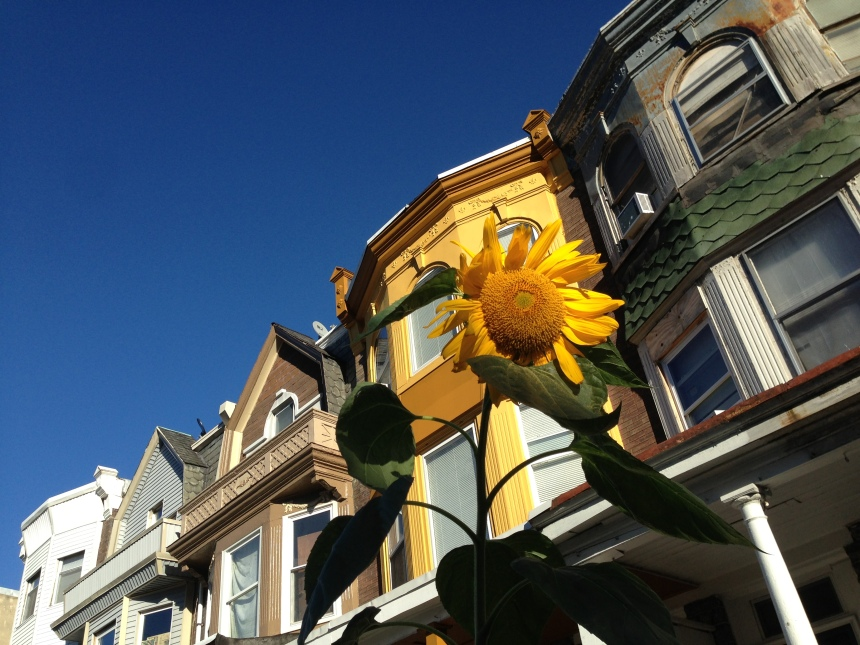 Harley's sunflower on W Rockland Street